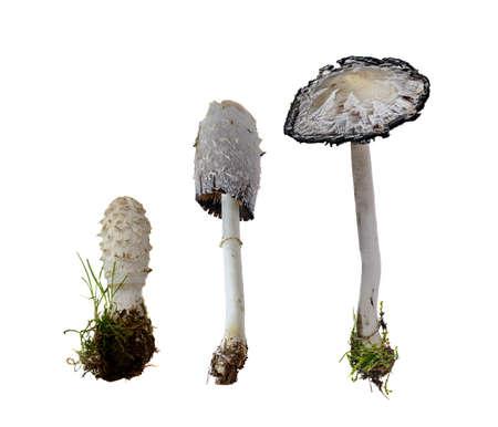 흰색 배경에 -Coprinus comatus (궁리 중) 털 복 숭이 잉크 모자., 1797