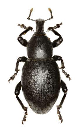 Weevil Liparus on white Background  -  Liparus dirus (Herbst, 1795) Stock Photo - 88406895