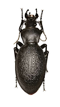 Leather bug on white Background - Carabus coriaceus (Linnaeus, 1758) Stock Photo