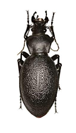 Punaise en cuir sur fond blanc - Carabus coriaceus (Linnaeus, 1758) Banque d'images - 90109437