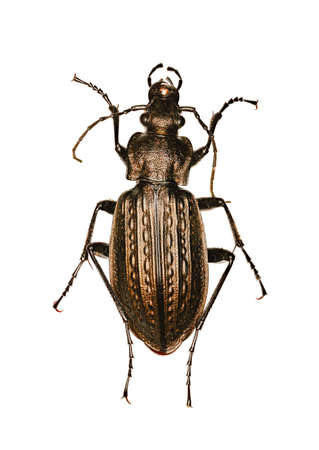Granulated Ground Beetle on white Background  -  Carabus granulatus (Linnaeus, 1758)