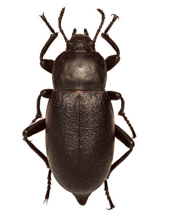 Churchyard Beetle on white Background  -  Blaps mortisaga (Linnaeus, 1758) Banque d'images - 109852911