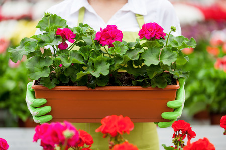 Women with potted plant. Cropped image of woman holding a potted plant while standing in green house photo