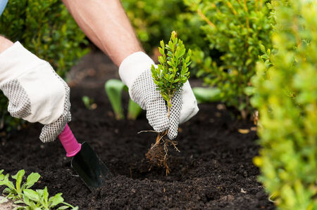 plant nursery: Planting a seedling. Close-up image of male hands in glovers holding green plant