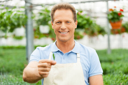 agriculture industry: Handsome mature man in apron holding green leafs in hand and looking at camera