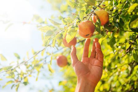 albero da frutto: La più succosa e matura. Primo piano di uomo che si estende fuori mano per mela mentre in piedi in giardino Archivio Fotografico