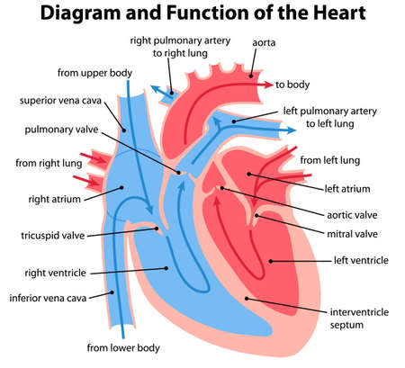 Cross sectional diagram of the heart