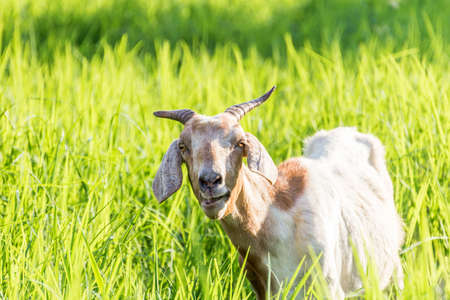 The goat can eat all  hours Stock Photo
