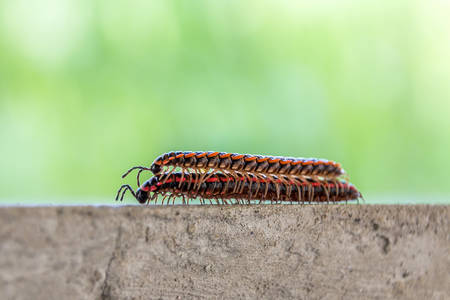 The millipedes breed when humid weather in summer
