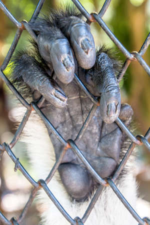 cage gorilla: Douc Langurs are social animals, living in groups of 10-15 animals