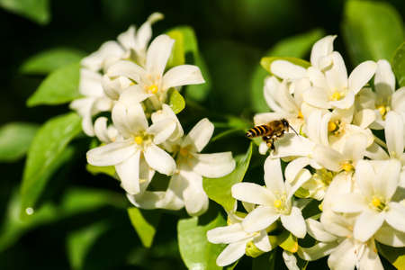 Worker Bees try to find food from flowers. Stock Photo