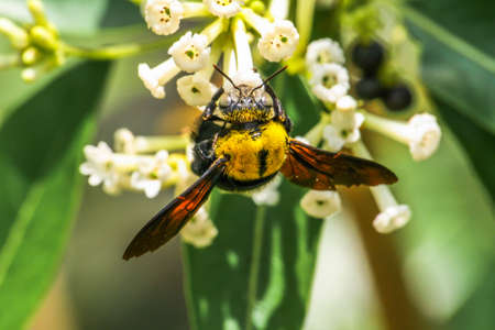 Carpenter Bee try to find food from Day Cestrum flowers.