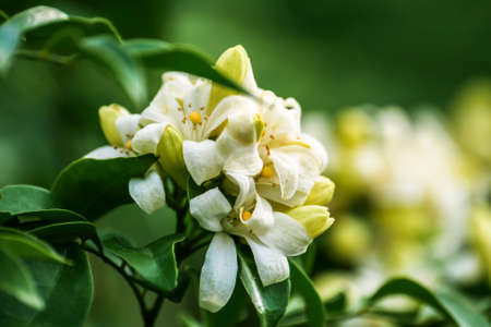jessamine: Satin-wood or Orange jessamine are fragrant flowers