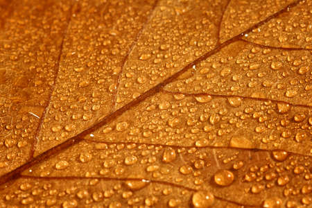 Raindrops on fallen leaf