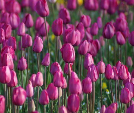 Tulips on ground