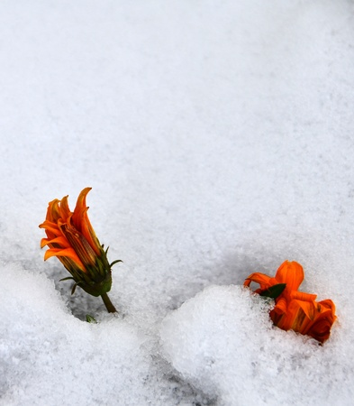 orange colored daisies are under snow. Stock Photo - 12193807