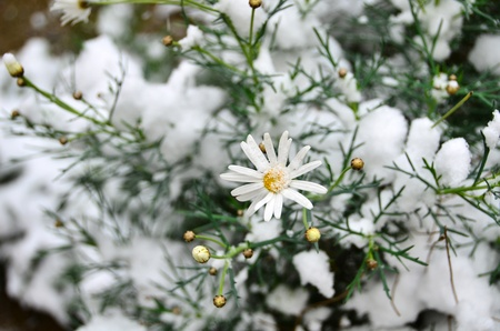 white daisy is in the garden under snow. Stock Photo - 12193816