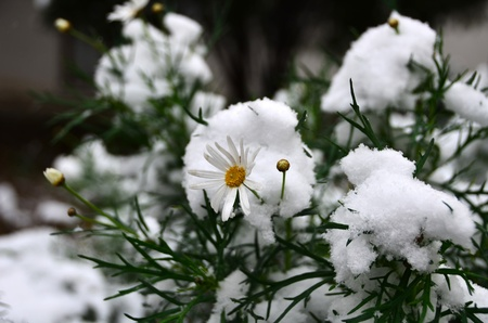 white daisy is in the garden under snow. Stock Photo - 12193817