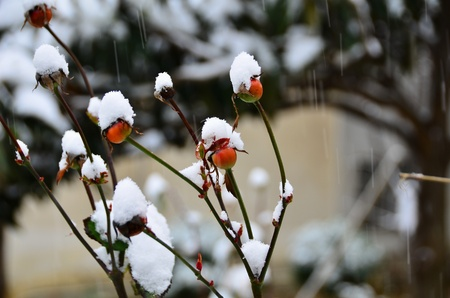 receptacles of roses are under snow
