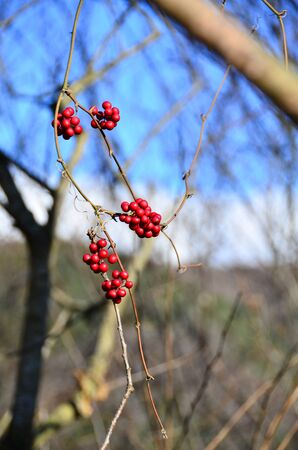 Red colored berries are on the bush on very nice day.