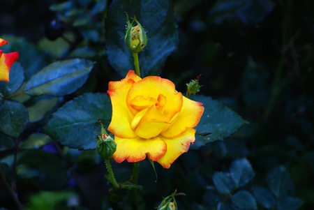 Yellow colored beautiful rose is from Aegean Region from Turkey. Stock Photo