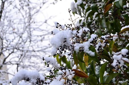 Tree s seeds and leafs were covered by snow Stock Photo - 12603462