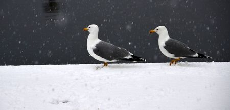 Seagulls were under snow while they were standing on dock