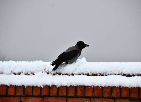Crow was waiting on the wall which has snow on it