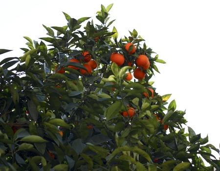 Bitter oranges were on tree's branch  photo