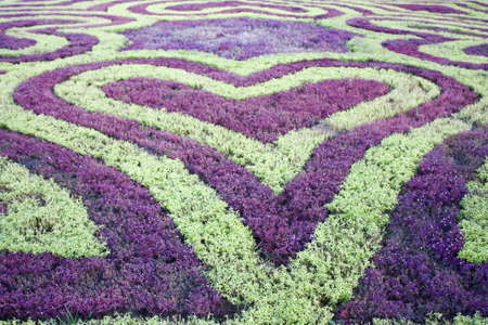 Green and purple little bushes are shaped as like heart in the garden  Stock Photo
