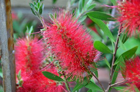 callistemon citrinus: Australian flower calls callistemon and colors with red petals  Stock Photo