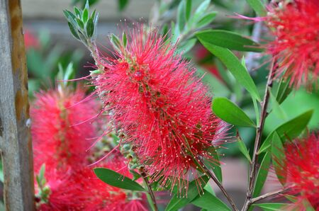 Australian flower calls callistemon and colors with red petals  Stock Photo