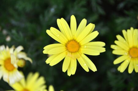 Yellow colored daisy gets wet with drops of rain