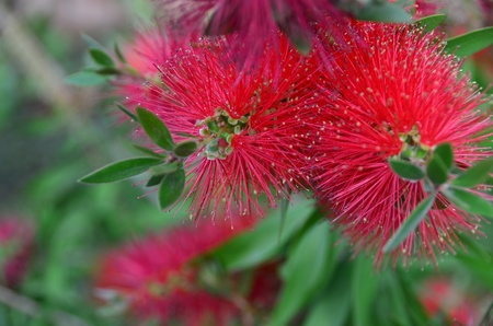 Australian flower calls callistemon and colors with red petals  Banco de Imagens