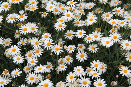 White and fresh daisies in their natural land