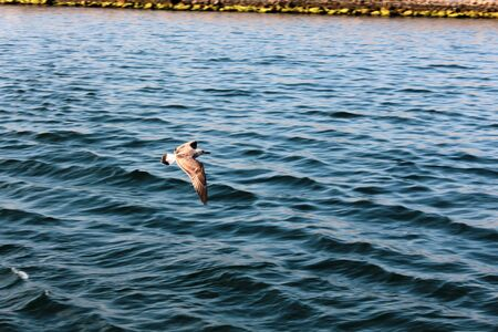 Seagull is domestic bird for Istanbul  It flies to find some food  Stock Photo