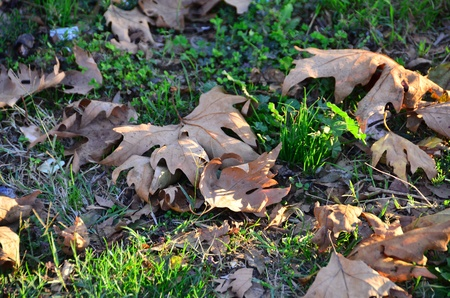 Brown colored plane leafs are on the grasses  Stock Photo