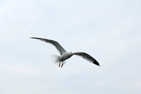 White seagull flys over sea for searching some foods