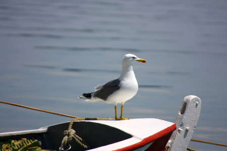 Alone seagull stands on rowboat, while searching the sea  Stock Photo