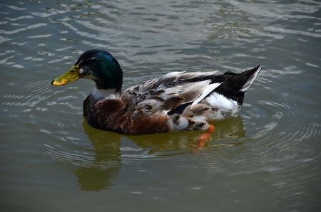 Green head wild duck which is very cute, swims in the lake