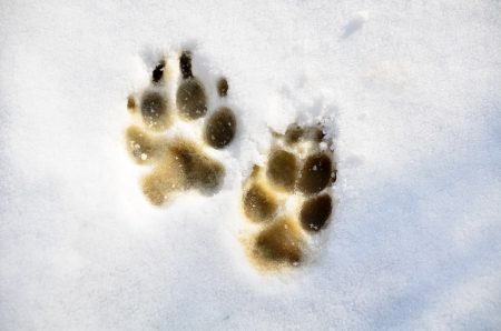 Prints of dog on surface of snow. Stock Photo - 19877128