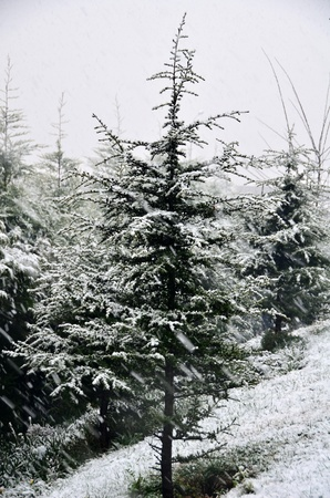 Pine trees on cold day and covered by snow  Stock Photo - 20458257