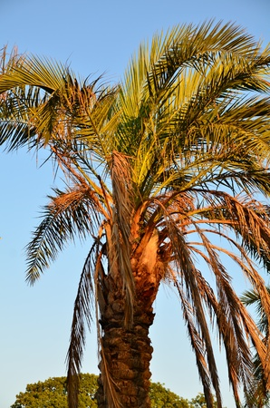 Tropical palm tree shot at sunset under blue sky