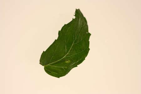 Fresh and green mint leaf Stock Photo
