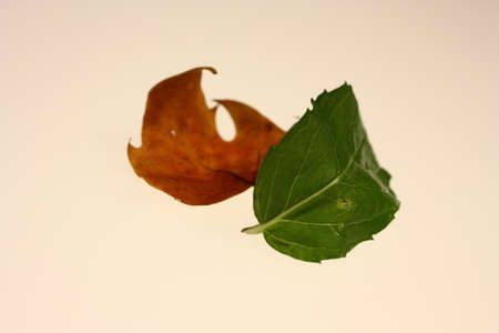 Fresh leaf and dry leaf are on white background