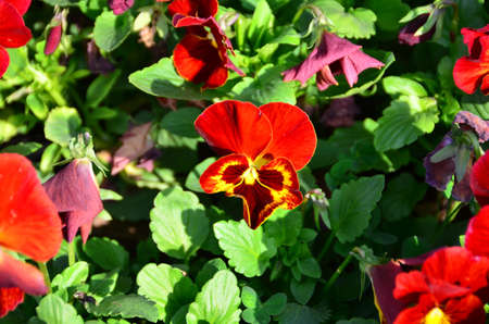 Multicolored pansy flowers are in the garden in spring  Stock Photo