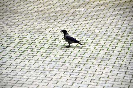 Black crow is standing on Stones that are covering the ground.