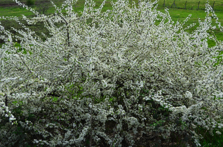 In spring, plant covered with white flowers.