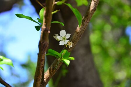 Plum flower is on tree branch.