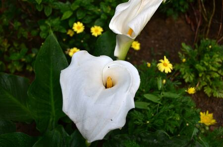 White colored lilium with green leafs stands between yellow daisies.